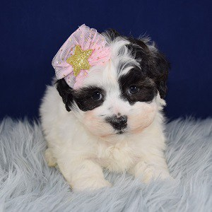 Shichon Puppy For Sale – Keiko, Female – Deposit Only