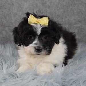 Shichon Puppy For Sale – Kioko, Female – Deposit Only
