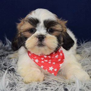 Lhasa Tzu puppy for sale in RI