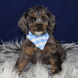 Lynx Cockapoo puppy for sale in PA