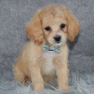 Cockapoo Puppy For Sale – Macho, Male – Deposit Only