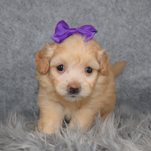 Pomapoo Puppy For Sale – Madelyn, Female – Deposit Only
