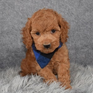 Cockapoo Puppy For Sale – Mango, Male – Deposit Only