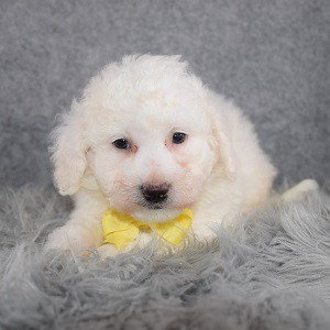 Bichon Puppy For Sale – Manny, Male – Deposit Only