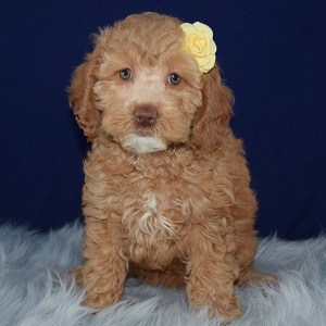 Meadow Cockapoo puppy for sale in WV