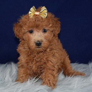 Mississippi Cockapoo puppy for sale in VA