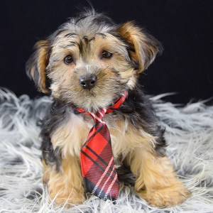 Morkie puppy for sale in PA