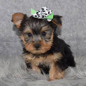 Yorkie Puppy For Sale – Neely, Female – Deposit Only