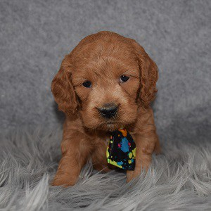 Cockapoo Puppy For Sale – Noah, Male – Deposit Only