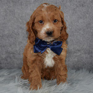 Cockapoo Puppy For Sale – Paxton, Male – Deposit Only