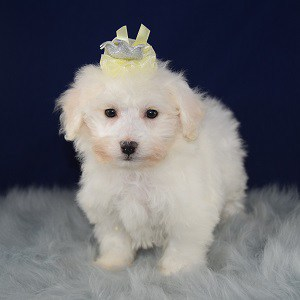 Bichon Puppy For Sale – Peaches, Female – Deposit Only