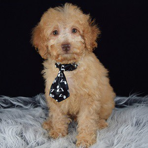 Picasso Cockapoo puppy for sale in NJ