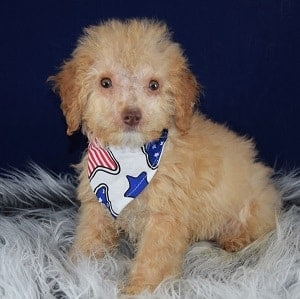 Rembrandt Cockapoo puppy for sale in MD