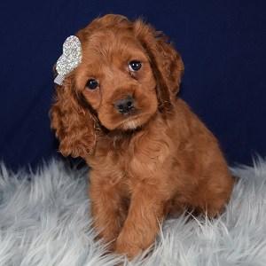 Cockapoo puppies for sale in delaware