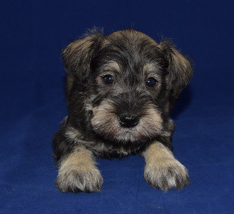 Mini Schnauzer puppy for sale in WV