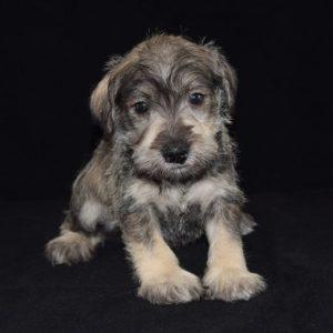 Mini Schnauzer puppy for sale in PA