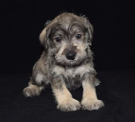 Male Schnauzer Puppy For Sale Ford Puppies For Sale In Pa Md Ny Ri