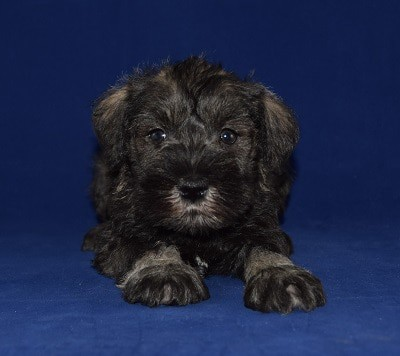 Male Schnauzer Puppy For Sale Toyota Puppies For Sale In Pa De Nj Ny
