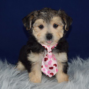 Simon Morkie puppy for sale in PA