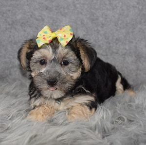Female Morkie Puppy For Sale Sookie | Puppies For Sale in Virginia USA