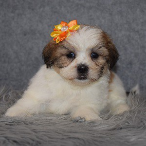 Shichon Puppy For Sale – Trix, Female – Deposit Only