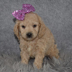 Cockapoo Puppy For Sale – Vixie, Female – Deposit Only