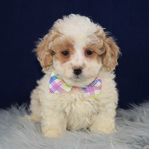 Xander Cockapoo puppy for sale in MA