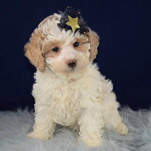 Xara Cockapoo puppy for sale in RI