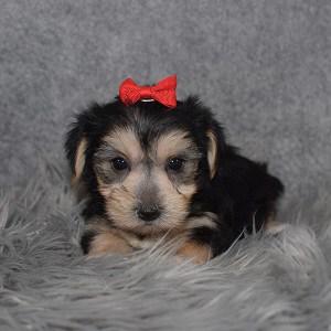 Morkie Puppy For Sale – Zara, Female – Deposit Only