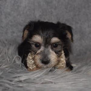 Morkie Puppy For Sale – Ziggy, Male – Deposit Only