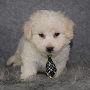 Bichon Puppy For Sale – Austin, Male – Deposit Only