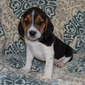 Male Beagle Puppy For Sale Snaps Puppies For Sale In Pa Nj Md