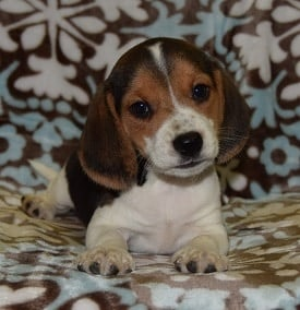 Beagle puppy for sale in ny