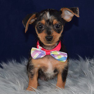 Blink Dorkie puppy for sale in CT