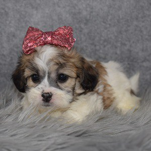 Shichon Puppy For Sale – Cass, Female – Deposit Only
