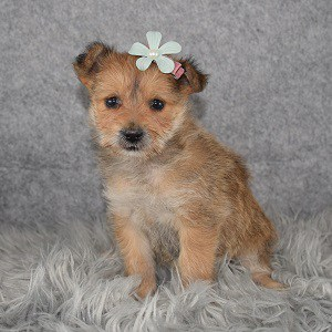 Yorkipom Puppy For Sale – Clementine, Female – Deposit Only