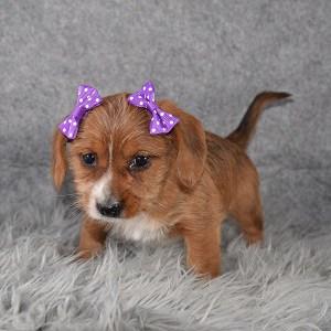 Dorkie Puppy For Sale – Darcy, Female – Deposit Only