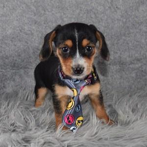 Dorkie Puppy For Sale – Dario, Male – Deposit Only