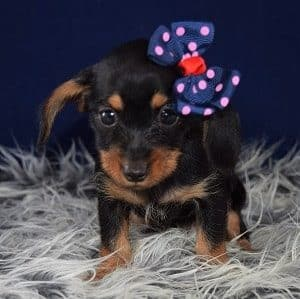 Dorkie puppy for sale in MA
