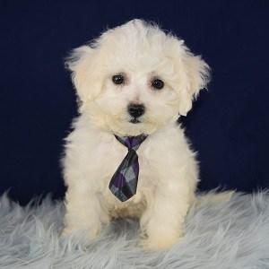 Duke Bichon puppy for sale in PA