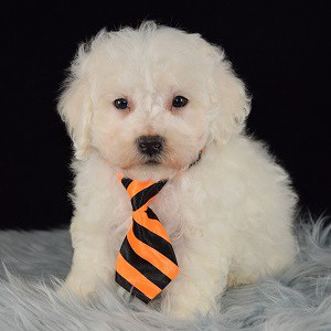 Finnick Bichon puppy for sale in DC