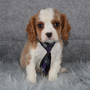 Frodo Cavalier puppy for sale in PA