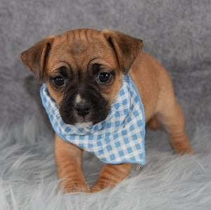 Jeremiah Jug puppy for sale in MA