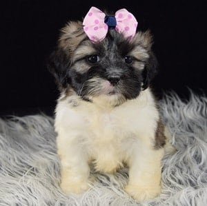 Lhasa Tzu puppy for sale in CT