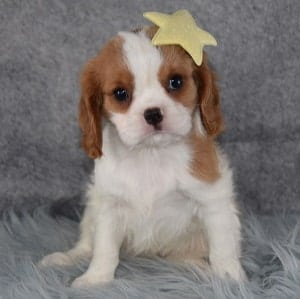 Mercy Cavalier puppy for sale in RI