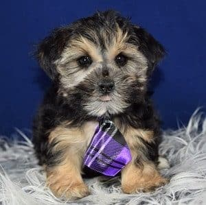 Morkie puppy for sale in RI