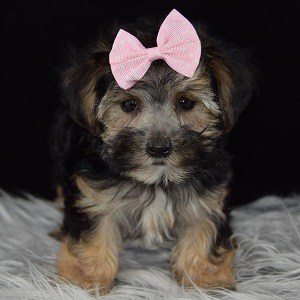 Morkie puppy for sale in NJ