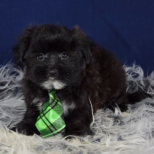 Moscow Morkie puppy for sale in DE