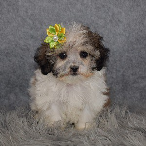Shichon Puppy For Sale – Precious, Female – Deposit Only