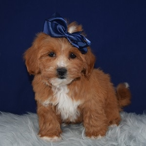 Shihpoo Puppy For Sale – Pumpkin, Female – Deposit Only